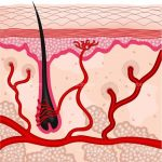 Human Hair Follicle